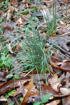 Wild garlic (often called onion grass). Harvest the tops for baked potatoes! The bulbs are strong, and best when cooked.