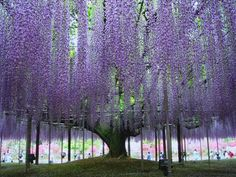 The largest flowering plant in the world is the Wisteria in Sierra Madre, California, according to the Guinness Book of Records, spans 1 acre, weighing 250 tons.