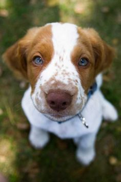 brittany spaniel pup. I want one!!