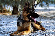 German Shepherd - null