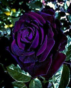 Beautiful Rose Flowers, Beautiful Flowers Wallpapers, Love Rose, Amazing Flowers, Beautiful Gardens, Rare Roses, Rare Flowers, Exotic Flowers, Rose Violette