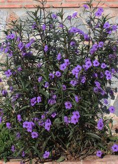 5 Purple Mexican petunia Attracts: Butterflies ***live plants – Famous Last Words Purple Plants, All Plants, Live Plants, Tropical Plants, Garden Plants, Purple Perennials, Purple Petunias, Tropical Garden, Potted Plants
