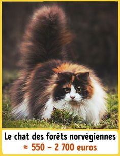 19Chats incroyables qui coûtent une fortune Laperm, American Curl, Serval, Scottish Fold, Rare Cats, Cats And Kittens, Cats Bus, Maine Coon, Curl Americano