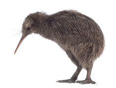 The Kiwi, a flightless endangered bird of New Zealand Beautiful Birds, Animals Beautiful, Cute Animals, New Zealand Attractions, Reptiles, Photoshopped Animals, Photoshop Video, Adobe Photoshop, Kiwi Bird