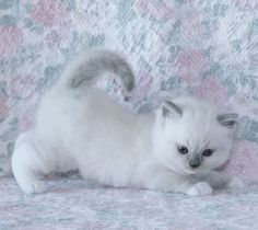 Available Ragdoll Cats and Ragdoll Kittens
