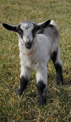 ► Idina is one of the newest baby goats at Goat Milk Stuff. We have been waiting for a doeling from her mom (Ivy) for a long time and now we have one! Check out Idina's birth story: http://gmsoap.co/WtZT24  #GMSkids #goats #babygoat #cute