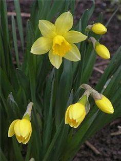 Цветы на даче: Луковичные растения
