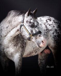 Boemil Twin Robotop @laralorengo #appaloosa #stallion #horse #horses #horsephotography #spots #aphc #reiner #reining #reininghorse #champion #phenomenal #nrha #sire #tristandark #tristandarkphotography #custom #beauty