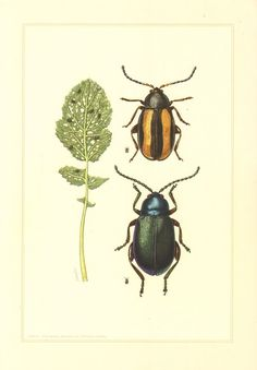 1956 Leaf Beetles Chrysomelidae Small by CabinetOfTreasures
