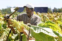 kys tobacco crop