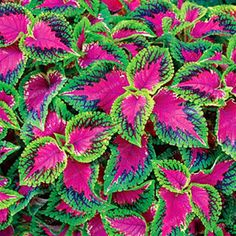 Growing coleus plants and flowers from seeds - Learn how to grow coleus seeds to full sized plants in your home flower garden. Find info on Coleus plants (Coleus blumei), a tender tropical plants grown for their beautiful leaves. Shade Tolerant Plants, Shade Garden Plants, Garden Shrubs, Shade Perennials, Lawn And Garden, Garden Landscaping, Shaded Garden, Partial Sun Perennials, Partial Sun Flowers