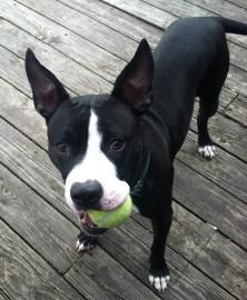 Meet our beautiful girl, Tulip! A high energy, fast pace dog she is looking for someone that can keep up with her. Tulip LOVES tennis balls and will be entertained with one as long as youll let her have it. Shes named after a flower, but a big goof is what she really is! She might be too big and goofy for small children but she would do great going to an active home that has experience with dogs. If you are interested in meeting with Tulip, please contact her foster mom at…