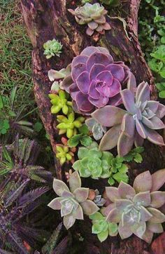 succulents tucked in a wood base Ooh ooh ooh, I have just the perfect piece of wood, roll on spring!