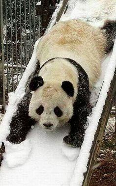 Frolicking panda