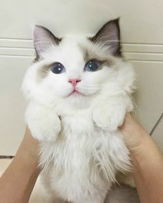 When you've got a fluffy face. - your daily dose of funny cats - cute kittens - pet memes - pets in clothes - kitty breeds - sweet animal pictures - perfect photos for cat moms Cute Kittens, Kittens And Puppies, Yorkie Puppies, Funny Cat Memes, Funny Cats, Funny Animals, Cute Animals, Baby Animals, Awkward Animals