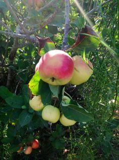 beautiful beautiful wild apples