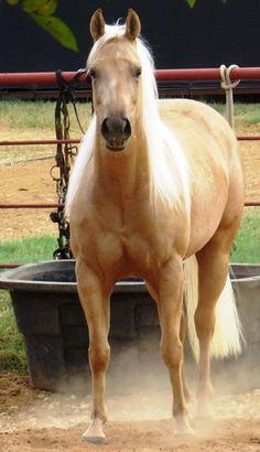 Horses - Gorgeous Palomino Quarter horse named 'Shiners Money Talks'.