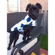 @snapnstare: The ultimate #puppy #SWAG #yorkiepoo #yorkie #poodle #pooch #pet #dog #puppydog #ilovemydog #mapleleafs #toronto #hockey #leafsnation #torontomapleleafs #dogclothes #furbaby #puppyclothes #cute #summer #summertime #backyard #outdoors