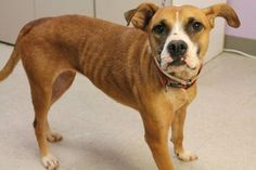 Jasmine: Pit mix beauty is out of time at high-kill upstate shelter ADOPTED