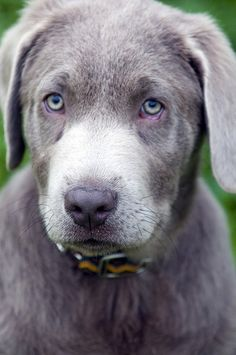 Silver labrador.... I ssssoooo want a Silver lab!!! They are so beautiful and I have always wanted one!!!