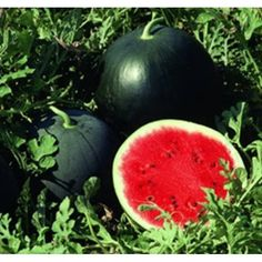 Average 35 to 50 lbs, also up to 75 lb fruits. Fertilize with manure tea as the. Fruit Garden, Garden Seeds, Planting Seeds, Tropical, Vegetable Seeds Online, Vegetable Gardening, Sutton Seeds, Fruit Seeds, Veggies