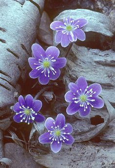 ,hepatica one of my favorite early woodland flowers