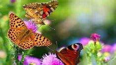 Butterflies – 1080p HD Wallpaper For Desktop