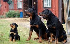 The Rottweiler breed is an ancient one that has evolved a lot over the centuries. The breed developed from several Mastiff-like breeds and was used for Big Dogs, I Love Dogs, Cute Dogs, Dogs And Puppies, Doggies, Rottweiler Breeders, Doberman, Dog Lovers, Paisajes