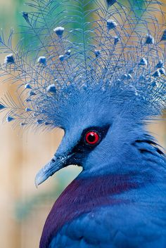 "Evidently a ""Victoria Crowned Pigeon."" A pigeon. It's a pigeon. Pretty Birds, Love Birds, Beautiful Birds, Animals Beautiful, Cute Animals, Funny Animals, Beautiful Pictures, Wild Animals, Baby Animals"