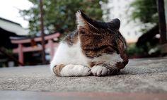 Cat at Yanagimori Shrine(Akihabara)