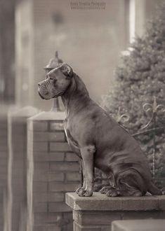 Chien Cane Corso, Cane Corso Dog Breed, Cane Corso Italian Mastiff, Cane Corso Mastiff, Huge Dogs, Dog Boarding, Beautiful Dogs, Mans Best Friend, Dog Friends