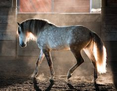 beautiful dapple gray..