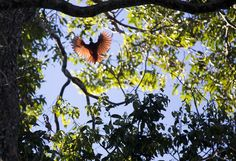 Bird of Paradise in Papua -  The Cenderawasih Bird of Paradise flies overhead on a small Island in Raja Ampat, Papua, Indonesia. Greenpeace is in Indonesia to document one of the world's most biodiverse – and threatened – environments and to call for urgent action to ensure that the country's oceans and forests are protected. © Paul Hilton / Greenpeace