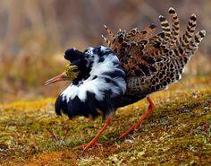 Ruff ( L: Philomachus pugnax / N: Brushane ), photo taken in the Varanger Peninsula - Northern Norway.