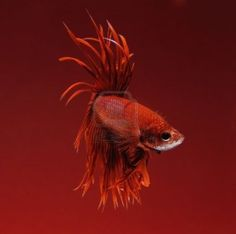 Red Betta Fighting Fish On Red Background Royalty Free Stock Photo, Pictures, Images And Stock Photography. Red Spice, Chili Oil, Siamese Fighting Fish, Red Rooms, Colour Pallette, Wildlife Nature, Red Fish, Colour Board, Color Of The Year