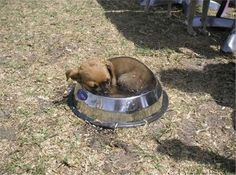 Such a hot dog on a hot day! It was soooooo hot at the dog show this little puppy had a nap in someone's water bowl to cool off! Love My Dog, Sleeping Animals, Sleeping Dogs, Cute Puppies, Cute Dogs, Dogs And Puppies, Doggies, Someecards, Places