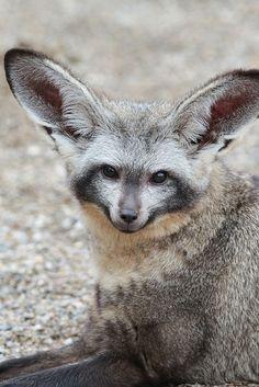 Bat Eared Fox Amazing World beautiful amazing