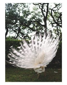 Albino Peacock by Olivia Rae James