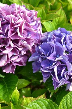Beginner Gardening What an amazing trick! I'm changing the colors of my hydrangea blooms just by tweaking the PH of the soil. I found step by step instructions here. Hydrangea Colors, Hydrangea Flower, Hydrangeas, Container Gardening, Gardening Tips, Hydrangea Not Blooming, Indoor Flowers, Planting Flowers, Flower Gardening