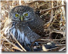 Northern Pygmy Owl of Alberta