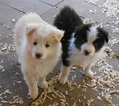 Discover Border Collie puppies from Balmoral Border Collies in California. Find the right dog for you on Good Dog. Boarder Collie Puppy, Border Collie Mix Puppies, Collie Puppies For Sale, Collie Dog, Golden Retriever Collie Mix, Labrador Retriever Dog, Cute Little Puppies, Cute Dogs, Border Collie Training