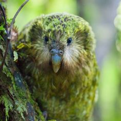"""The kakapo's face features a distinctive disc of fine feathers, similar to the facial disc of an owl. This led early European settlers to dub it the """"owl parrot"""". Reflecting this, the kakapo's Latin. Flightless Parrot, Kakapo Parrot, Nocturne, Funny Animals, Cute Animals, Wild Animals, Budgies, Parrots, New Zealand Art"""