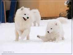 Samoyeds - just perfect cretures