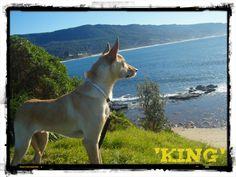Blonde Kelpie Lurcher, Husky Mix, Dog Breeds, Labrador Retriever, Creatures, Friends, Dogs, Blue, Animals
