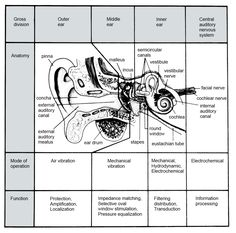 The figure below shows a simplified longitudinal cross section of the . Ear Anatomy, Anatomy Study, Ear Picture, Ear Health, Facial Nerve, Human Ear, Nursing Care, Lesson Plan Templates, Anatomy And Physiology