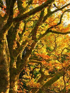Oak tree in all its autumnal glory All Nature, Nature Tree, Amazing Nature, Pictures To Paint, Cool Pictures, Magical Tree, Mighty Oaks, Live Oak Trees, Tree Canopy