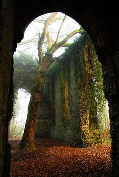 Church ruin in Norfolk, England, with a tree rising into mist, ivy on the walls, and Autumn leaves on the ground. Local myth has it that the nun who lived here was a witch with a wooden leg. After she died and was buried in the church, this tree began to grow from her grave, having sprouted from the wooden leg.