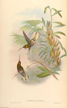 Hummingbirds Pale-tailed Barbthroat  John Gould Vintage Repro Photo Art Print…