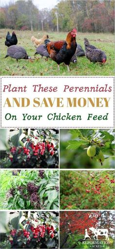 12 Perennials to Plant for Free Chicken Food Want to save big on chicken feed while adding nutrition and variety to their diets? Try planting these perennial trees and shrubs and cut your feed bill! Chicken Garden, Backyard Chicken Coops, Chicken Feed, Chicken Runs, Diy Chicken Coop, Chicken Chick, Small Chicken, Raising Backyard Chickens, Keeping Chickens