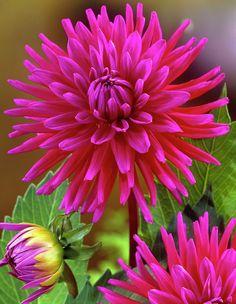 A beautiful magenta colour Dahlia. Exotic Flowers, Amazing Flowers, My Flower, Pink Flowers, Beautiful Flowers, Simple Flowers, Flowers Illustration, Flowers Wallpaper, Flowers Australia
